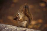 CAL ANI AUT  SK     1104212DRED SQUIRREL WITH PINE CONE IN AUTUMNPRINCE ALBERT NATIONAL PARK  0930© CLARENCE W. NORRIS             ALL RIGHTS RESERVEDANIMALS;AUTUMN;BOREAL;CAL_ANIMALS;CALENDARS;NP_;PARKLAND;PINECONES;PLAINS;PRAIRIES;PRINCE_ALBERT_NP;RED_SQUIRREL;SASKATCHEWAN;SK_;SQUIRRELSLONE PINE PHOTO                      (306) 683-0889