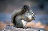 CAL ANI AUT  SK     1104705ADRED SQUIRREL WITH PINE CONE(TANIASCIURUS MUDSONICUS)PRINCE ALBERT NAT PK         0929© CLARENCE W. NORRIS        ALL RIGHTS RESERVEDANIMALS;AUTUMN;BOREAL;CAL_ANIMALS;CALENDARS;NP_;PARKLAND;PINECONES;PLAINS;PRAIRIES;PRINCE_ALBERT_NP;RED_SQUIRREL;SASKATCHEWAN;SK_;SQUIRRELSLONE PINE PHOTO                (306) 683-0889