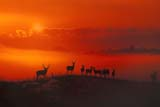 CAL ANI AUT  SK   WS20355DMULE DEER AT SUNSETHARRIS                               11..© WAYNE SHIELS                ALL RIGHTS RESERVEDANIMALS;AUTUMN;CAL_ANIMALS;CALENDARS;DEER;HARRIS;MULE_DEER;PLAINS;PRAIRIES;RURAL;SASKATCHEWAN;SCENES;SK_;SUNSETSLONE PINE PHOTO              (306) 683-0889