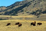 CAL ANI AUT  WY  REH1000189DBISON FEEDING IN FOOTHILLS (BISON BISON)YELLOWSTONE NAT PK        09..© ROYCE HOPKINS               ALL RIGHTS RESERVEDALPINE;ANIMALS;AUTUMN;BISON;BUFFALO;CAL_ANIMALS;CALENDARS;CORDILLERA;FOOTHILLS;NP_;SCENES;USA;WYOMING;YELLOWSTONE_NPLONE PINE PHOTO               (306) 683-0889