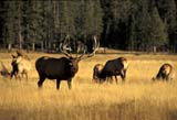 CAL ANI AUT  WY  REH1000653DBULL ELK BUGLING MEADOW WITH HAREMYELLOWSTONE NAT PK        09..© ROYCE HOPKINS              ALL RIGHTS RESERVEDALPINE;ANIMALS;ANTLERS;AUTUMN;CAL_ANIMALS;CALENDARS;CORDILLERA;ELK;HERDS;MALE;MEADOWS;NP_;USA;WYOMING;YELLOWSTONE_NPLONE PINE PHOTO              (306) 683-0889