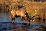 CAL ANI AUT  WY  REH1000654DBULL ELK DRINKING FROM STREAMYELLOWSTONE NAT PK        09..© ROYCE HOPKINS              ALL RIGHTS RESERVEDALPINE;ANIMALS;ANTLERS;AUTUMN;CAL_ANIMALS;CALENDARS;CORDILLERA;ELK;MALE;NP_;STREAMS;USA;WATER;WYOMING;YELLOWSTONE_NPLONE PINE PHOTO              (306) 683-0889