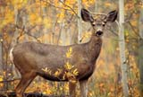 CAL ANI AUT  YT  PEH1000106DMULE DEER IN AUTUMN(ODOCOLUES MEIONUS)LAKE LEBERGE                      09..© PHIL HOFFMAN                ALL RIGHTS RESERVEDANIMALS;AUTUMN;CAL_ANIMALS;CALENDARS;CORDILLERA;DEER;FEMALE;LAKE_LEBERGE;MULE_DEER;YT_;YUKONLONE PINE PHOTO              (306) 683-0889