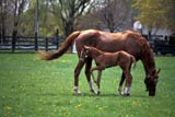CAL ANI HOR  ON   LDL1000014DTHOROUGHBRED MARE AND FOALOSHAWA                          ....© L. DIANE LACKIE             ALL RIGHTS RESERVEDANIMALS;BABIES;CAL_ANIMALS;CALENDARS;CENTRAL;FAMILIES;FOALS;HORSES;MARES;ON_;ONTARIO;OSHAWA;SPRING;THOROUGHBREDSLONE PINE PHOTO                  (306) 683-0889