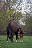 CAL ANI HOR  ON  LDL1000015D  VTTHOROUGHBRED MARE AND FOALOSHAWA                            ....© L. DIANE LACKIE                ALL RIGHTS RESERVEDANIMALS;BABIES;BULLETINS;CAL_ANIMALS;CALENDARS;CENTRAL;FAMILIES;FEMALE;FOALS;HORSES;MARES;ON_;ONTARIO;OSHAWA;SPRING;THOROUGHBREDS;VTLLONE PINE PHOTO              (306) 683-0889