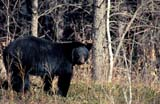 CAL ANI SPR  MB  PNB1000024DBLACK BEAR AT EDGE OF FOREST (URSUS ANERICANUS)RIDING MOUNTAIN NAT PK    071© PAUL BROWNE                 ALL RIGHTS RESERVEDANIMALS;BEARS;BLACK_BEAR;BOREAL;CAL_ANIMALS;CALENDARS;FOREST;MANITOBA;MB_;NP_;PLAINS;PLATEAU;PRAIRIES;RIDING_MOUNTAIN_NP;SPRINGLONE PINE PHOTO              (306) 683-0889
