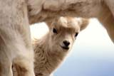 CAL ANI SPR  YT  PEH1000102DWHITE OR DALL SHEEP LAMB(OVIS DALLI)KLAUNE NATIONAL PK           05© PHIL HOFFMAN                  ALL RIGHTS RESERVEDALPINE;ANIMALS;BABIES;CAL_ANIMALS;CALENDARS;CORDILLERA;DALL_SHEEP;KLAUNE_NP;LAMBS;NP_;SCENES;SHEEP;SPRING;WHITE_SHEEP;YT_;YUKONLONE PINE PHOTO              (306) 683-0889