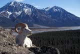CAL ANI SPR  YT  PEH1000105DWHITE OR DALL SHEEP RAM(OVIS DALLI)KLAUNE NATIONAL PK           05© PHIL HOFFMAN                  ALL RIGHTS RESERVEDALPINE;ANIMALS;CAL_ANIMALS;CALENDARS;CORDILLERA;DALL_SHEEP;KLAUNE_NP;MOUNTAINS;NP_;RAMS;SCENES;SHEEP;SPRING;WHITE_SHEEP;YT_;YUKONLONE PINE PHOTO              (306) 683-0889