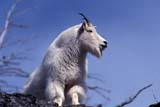 CAL ANI AUT  AB  TAP0000127DMOUNTAIN GOAT ADULT(OREAMNOS AMERICANUS)JASPER NATIONAL PARK           10© TERRY A. PARKER                ALL RIGHTS RESERVED  TP 20041AB_;ALBERTA;ALPINE;ANIMALS;AUTUMN;CAL_ANIMALS;CALENADARS;CORDILLERA;FUR;GOATS;JASPER_NP;MOUNTAIN_GOAT;MOUNTAINS;NP_;ROCKIES;ROCKY;ROCKY_MOUNTAINSLONE PINE PHOTO                 (306) 683-0889