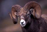 CAL ANI AUT  AB  TAP0000133DROCKY MOUNTAIN BIGHORN SHEEP RAM(OVIS CANADENSIS CANADENSIS)JASPER NATIONAL PARK           10© TERRY A. PARKER                ALL RIGHTS RESERVED  TP 2243AB_;ALBERTA;ALPINE;ANIMALS;AUTUMN;BIGHORN_SHEEP;CAL_ANIMALS;CALENDARS;CORDILLERA;FUR;HORNS;JASPER_NP;MALE;MOUNTAINS;NP_;ROCKIES;ROCKY;ROCKY_MOUNTAIN_BIGHORN_SHEEP;ROCKY_MOUNTAINS;SHEEPLONE PINE PHOTO                 (306) 683-0889