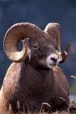 CAL ANI AUT  AB  TAP0000138D  VTROCKY MOUNTAIN BIGHORN SHEEP RAM(OVIS CANADENSIS CANADENSIS)JASPER NATIONAL PARK           10© TERRY A. PARKER                ALL RIGHTS RESERVED  TP160AB_;ALBERTA;ALPINE;ANIMALS;AUTUMN;BIGHORN_SHEEP;CAL_ANIMALS;CALENDARS;CORDILLERA;FUR;HORNS;JASPER_NP;MALE;MOUNTAINS;NP_;ROCKIES;ROCKY;ROCKY_MOUNTAIN_BIGHORN_SHEEP;ROCKY_MOUNTAINS;SHEEP;VTLLONE PINE PHOTO                 (306) 683-0889