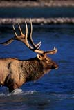 CAL ANI AUT  AB  TAP0000179D  VTROCKY MOUNTAIN ELK BULL CROSSING RIVERJASPER NATIONAL PARK           09© TERRY A. PARKER                ALL RIGHTS RESERVED  TP 23026AB_;ALBERTA;ALPINE;ANIMALS;ANTLERS;AUTUMN;CAL_ANIMALS;CALENDARS;CORDILLERA;ELK;FUR;JASPER_NP;MALE;MOUNTAINS;NP_;RIVERS;ROCKIES;ROCKY;ROCKY_MOUNTAIN_ELK;ROCKY_MOUNTAINS;VTL;WATERLONE PINE PHOTO                 (306) 683-0889