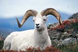 CAL ANI AUT  NT  TAP0000161DWHITE OR DALL SHEEP RAM(OVIS DALLI)MACKENZIE MOUNTAINS           09© TERRY A. PARKER                ALL RIGHTS RESERVED  TP 12443ALPINE;ANIMALS;AUTUMN;CAL_ANIMALS;CALENDARS;CORDILLERA;DALL_SHEEP;FUR;HORNS;MACKENZIE_MOUNTAINS;MALE;MOUNTAINS;NORTHWEST;NORTHWEST_TERRITORIES;NT_;NWT;SHEEP;STONE;STONE_SHEEP;TERRITORIES;WHITE_SHEEPLONE PINE PHOTO                 (306) 683-0889
