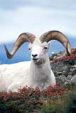 CAL ANI AUT  NT  TAP0000162D  VTWHITE OR DALL SHEEP RAM(OVIS DALLI)MACKENZIE MOUNTAINS           09© TERRY A. PARKER                ALL RIGHTS RESERVED  TP 12479ALPINE;ANIMALS;AUTUMN;CAL_ANIMALS;CALENDARS;CORDILLERA;DALL_SHEEP;FUR;HORNS;MACKENZIE_MOUNTAINS;MALE;MOUNTAINS;NORTHWEST;NORTHWEST_TERRITORIES;NT_;NWT;SHEEP;STONE;STONE_SHEEP;TERRITORIES;VTL;WHITE_SHEEPLONE PINE PHOTO                 (306) 683-0889