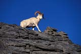 CAL ANI AUT  YT  TAP0000157DWHITE OR DALL SHEEP RAM(OVIS DALLI)KLUANE NATIONAL PARK          09© TERRY A. PARKER                ALL RIGHTS RESERVED  GS-1LALPINE;ANIMALS;AUTUMN;CAL_ANIMALS;CALENDARS;CORDILLERA;DALL_SHEEP;FUR;KLUANE_NP;MALE;MOUNTAINS;NP_;STONE;SHEEP;STONE_SHEEP;SUMMER;WHITE_SHEEP;YUKON;YT_LONE PINE PHOTO                 (306) 683-0889