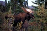 CAL ANI AUT  YT  TAP0000174DMOOSE BULL(ALCES ALCES)KLUANE NATIONAL PARK          09© TERRY A. PARKER                ALL RIGHTS RESERVED  TP 14860ALPINE;ANIMALS;ANTLERS;AUTUMN;CAL_ANIMALS;CALENDARS;CORDILLERA;FUR;KLUANE_NP;MALE;MOOSE;MOUNTAINS;NP_;YUKON;YT_LONE PINE PHOTO                 (306) 683-0889