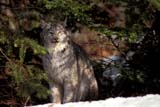 CAL ANI SPR  BC  TAP0000047DLYNX SITTING IN SNOWEAST KOOTENAYS                    03© TERRY A. PARKER                ALL RIGHTS RESERVED  TP 7231ANIMALS;BC_;BRITISH;BRITISH_COLUMBIA;COLUMBIA;CORDILLERA;EAST;FUR;KOOTENAYS;LYNX;MOUNTAINS;ROCKIES;ROCKY;ROCKY_MOUNTAINS;SPRINGLONE PINE PHOTO                 (306) 683-0889