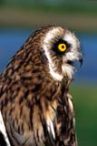 CAL BIR MIS  AB     1606132D  VTSHORT-EARED OWLCOALDALE                               072© CLARENCE W. NORRIS          ALL RIGHTS RESERVEDAB_;ALBERTA;BIRDS;BULLETINS;CAL_BIRDS;CALENDARS;COALDALE;OWLS;SHORT-EARED_OWL;SUMMER;VTLLONE PINE PHOTO                  (306) 683-0889
