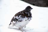 CAL BIR AUT  AB  REH1000162DWILLOW PTARMIGAN IN SNOW(LAGOPUS LAGOPUS)WILCOX PASS                     09..© ROYCE HOPKINS             ALL RIGHTS RESERVEDAB_;ALBERTA;ALPINE;AUTUMN;BIRDS;CAL_BIRDS;CALENDARS;CORDILLERA;PTARMIGANS;SNOW;WILCOX_PASS;WILLOW_PTARMIGANLONE PINE PHOTO              (306) 683-0889