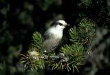 CAL BIR AUT  SK     1203623DGREY JAY ON PINE BOUGH(PERISOREUS CANADENSIS)PRINCE ALBERT NAT PK       0929© CLARENCE W. NORRIS      ALL RIGHTS RESERVEDAUTUMN;BIRDS;BOREAL;CAL_BIRDS;CALENDARS;GREY_JAY;JAYS;NP_;PARKLAND;PINES;PRINCE_ALBERT_NP;SASKATCHEWAN;SK_;TREES LONE PINE PHOTO              (306) 683-0889