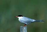 CAL BIR AUT  SK  GMM0000980DCOMMON TERN ON FENCE POSTQUILL LAKES                       09..© GARFIELD MACGILLIVRAY  ALL RIGHTS RESERVEDAUTUMN;BIRDS;CAL_BIRDS;CALENDARS;COMMON_TERN;QUILL_LAKES;SASKATCHEWAN;SK_;TERNSLONE PINE PHOTO              (306) 683-0889