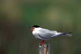 CAL BIR AUT  SK  GMM0000981DCOMMON TERN ON FENCE POSTQUILL LAKES                          09..© GARFIELD MACGILLIVRAY     ALL RIGHTS RESERVED  AUTUMN;BIRDS;CAL_BIRDS;CALENDARS;COMMON_TERN;QUILL_LAKES;SASKATCHEWAN;SK_;TERNSLONE PINE PHOTO                  (306) 683-0889