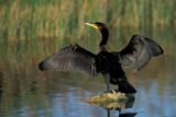 CAL BIR AUT  SK    GMM0001127DDOUBLE-CRESTED CORMORANT STANDING ON LOGLAST MOUNTAIN LAKE         10..© GARFIELD MACGILLIVRAY  ALL RIGHTS RESERVEDAUTUMN;BIRDS;CAL_BIRDS;CALENDARS;CORMORANTS;DOUBLE_CRESTED_CORMORANT;LAKES;LAST_MOUNTAIN_LAKE;PLAINS;PRAIRIES;SASKATCHEWAN;SK_;WATERLONE PINE PHOTO              (306) 683-0889