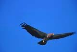 CAL BIR AUT  SK    GMM0001162DSWAINSON'S HAWK IN FLIGHTQUILL LAKE                         10..© GARFIELD MACGILLIVRAY  ALL RIGHTS RESERVEDAUTUMN;BIRDS;CAL_BIRDS;CALENDARS;FLIGHT;HAWKS;QUILL_LAKE;SASKATCHEWAN;SK_;SKY;SWAINSONS_HAWKLONE PINE PHOTO               (306) 683-0889