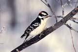 CAL BIR AUT  SK  WS10875DDOWNY WOODPECKER ON SNOWY BRANCHLANGHAM                            092© WAYNE SHIELS                 ALL RIGHTS RESERVEDAUTUMN;BIRDS;CAL_BIRDS;CALENDARS;DOWNY_WOODPECKER;LANGHAM;PLAINS;PRAIRIES;SASKATCHEWAN;SK_;SNOW;TREES;WOODPECKERSLONE PINE PHOTO              (306) 683-0889