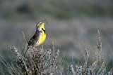 CAL BIR SPR  AB    REH1000163DWESTERN MEADOWLARK SINGING(STURNELLA NEGLECTA)ALBERTA                          05..© ROYCE HOPKINS           ALL RIGHTS RESERVEDAB_;ALBERTA;BIRDS;BIRDS_SINGING;CAL_BIRDS;CALENDARS;GRASSLANDS;MEADOWLARKS;PLAINS;PRAIRIES;SPRING;WESTERN_MEADOWLARKLONE PINE PHOTO                  (306) 683-0889