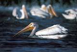 CAL BIR SPR  SK   WS10137DWHITE PELICANS ON S. SASK R.(PELECANUS ERYTHRORHYNCHOS)SASKATOON                        ....© WAYNE SHIELS                 ALL RIGHTS RESERVEDBIRDS;CAL_BIRDS;CALENDARS;PELICANS;SASKATCHEWAN;SASKATOON;SK_;SOUTH_SASKATCHEWAN_RIVER;SPRING;WATER;WHITE_PELICANLONE PINE PHOTO              (306) 683-0889