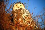 CAL BIR SPR  SK   WS10873DSNOWY OWL ON GROUNDWARMAN                                 03..© WAYNE SHIELS                     ALL RIGHTS RESERVEDARCTIC;BIRDS;CAL_BIRDS;CALENDARS;OWLS;PLAINS;PRAIRIES;SASKATCHEWAN;SK_;SNOWY_OWL;SPRING;WARMANLONE PINE PHOTO                  (306) 683-0889