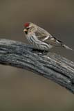 CAL BIR SPR  SK  GMM0001559DCOMMON REDPOLL PERCHING ON OLD WAGON WHEELQUILL LAKE                            03..© GARFIELD MACGILLIVRAY    ALL RIGHTS RESERVEDBIRDS;CAL_BIRDS;CALENDARS;COMMON_REDPOLL;FARMING;PLAINS;PRAIRIES;QUILL_LAKE;REDPOLLS;RURAL;SASKATCHEWAN;SK_;SPRING;VTL;WAGONS;WHEELSLONE PINE PHOTO                  (306) 683-0889
