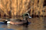CAL BIR SPR  SK  GMM0001328DMALE AMERICAN WIGEON ON WATERQUILL LAKE                        05..© GARFIELD MACGILLIVRAY ALL RIGHTS RESERVEDAMERICAN_WIGEON;BIRDS;CAL_BIRDS;CALENDARS;MALE;PLAINS;PRAIRIES;QUILL_LAKE;SASKATCHEWAN;SK_;SPRING;WATER;WIGEONSLONE PINE PHOTO              (306) 683-0889