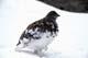 WILLOW PTARMIGAN IN SNOW, WILCOX PASS