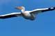 WHITE PELICAN IN FLIGHT, NIPAWIN