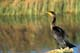 DOUBLE-CRESTED CORMORANT STANDING ON LOG, LAST MOUNTAIN LAKE