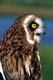 SHORT-EARED OWL, COALDALE