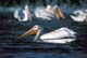 WHITE PELICANS ON SOUTH SASKATCHEWAN RIVER, SASKATOON