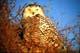 SNOWY OWL ON GROUND, WARMAN