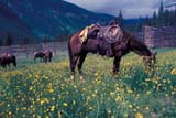 CAL FAR MIS  AB  DSR1000015D  HORSE GRAZING IN CORRALCASCADE VALLEYBANFF NATIONAL PK            06..© DUANE S. RADFORD          ALL RIGHTS RESERVEDAB_;ALBERTA;ALPINE;BANFF_NP;CAL_FARMING;CALENDARS;CASCADE_VALLEY;CORDILLERA;HORSES;NP_;OUTDOORS;RURAL;SCENES;SUMMER;TRAIL_RIDES;WESTERNLONE PINE PHOTO              (306) 683-0889