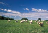 CAL FAR MIS MB     1806009DCHAROLAIS CATTLE IN SUMMER PASTUREROSSBURN                          0727© CLARENCE W. NORRIS      ALL RIGHTS RESERVEDANIMALS;CAL_FARMING;CALENDARS;CATTLE;CHAROLAIS;FARMING;FIELDS;LIVESTOCK;MANITOBA;MB_;PASTURES;ROSSBURN;RURAL;SCENES;SUMMERLONE PINE PHOTO              (306) 683-0889