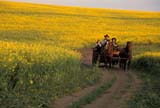CAL FAR MIS  SK     1609921DHORSE DRAWN CARRIAGE TRAVELING THROUGH CANOLAST. DENIS                             0729© CLARENCE W. NORRIS      ALL RIGHTS RESERVEDCAL_FARMING;CALENDARS;CANOLA;CARRIAGES;COWBOYS;CROPS;FARMING;HORSES;MR_;OUTDOORS;PEOPLE;PLAINS;PRAIRIES;RURAL;SASKATCHEWAN;SCENES;SK_;ST._DENIS;SUMMER;WESTERNLONE PINE PHOTO              (306) 683-0889