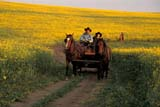CAL FAR MIS  SK     1609933DHORSE DRAWN CARRIAGE TRAVELING THROUGH CANOLAST. DENIS                             0729© CLARENCE W. NORRIS      ALL RIGHTS RESERVEDCAL_FARMING;CALENDARS;CANOLA;CARRIAGES;COWBOYS;CROPS;FARMING;HORSES;MR_;OUTDOORS;PEOPLE;PLAINS;PRAIRIES;RURAL;SASKATCHEWAN;SCENES;SK_;ST._DENIS;SUMMER;WESTERNLONE PINE PHOTO              (306) 683-0889