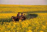 CAL FAR MIS  SK     1610001D  MRHORSE DRAWN CARRIAGE TRAVELLING THROUGH CANOLAST. DENIS                                  0729© CLARENCE W. NORRIS           ALL RIGHTS RESERVEDCAL_FARMING;CALENDARS;CANOLA;CARRIAGES;COWBOYS;CROPS;FARMING;HORSES;MR_;OUTDOORS;PEOPLE;PLAINS;PRAIRIES;RURAL;SASKATCHEWAN;SCENES;SK_;ST._DENIS;SUMMER;WESTERNLONE PINE PHOTO                   (306) 683-0889