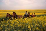 CAL FAR MIS  SK     1610007D  MRHORSE DRAWN CARRIAGE TRAVELING THROUGH CANOLAST. DENIS                                  0729© CLARENCE W. NORRIS           ALL RIGHTS RESERVEDBUGGY;CAL_FARMING;CALENDARS;CANOLA;CARRIAGES;COWBOYS;CROPS;FARMING;MR_;OUTDOORS;PEOPLE;PLAINS;PRAIRIES;RURAL;SASKATCHEWAN;SCENES;SK_;ST._DENIS;SUMMER;WESTERNLONE PINE PHOTO                   (306) 683-0889