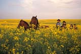 CAL FAR MIS  SK     1610009D  MRHORSE DRAWN CARRIAGE TRAVELING THROUGH CANOLAST. DENIS                            0729© CLARENCE W. NORRIS      ALL RIGHTS RESERVEDBUGGY;CAL_FARMING;CALENDARS;CANOLA;COWBOYS;CROPS;FARMING;HORSES;MR_;OUTDOORS;PEOPLE;PLAINS;PRAIRIES;RURAL;SASKATCHEWAN;SCENES;SK_;ST._DENIS;SUMMER;WESTERNLONE PINE PHOTO              (306) 683-0889