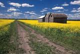 CAL FAR MIS SK     1704516DROAD THROUGH CANOLA FIELDERWOOD                            0717© CLARENCE W. NORRIS      ALL RIGHTS RESERVEDBUILDINGS;CAL_FARMING;CALENDARS;CANOLA;CROPS;ERWOOD;FARMING;GRANARIES;PLAINS;PRAIRIES;ROADS;RURAL;SASKATCHEWAN;SCENES;SK_;STRUCTURES;SUMMER;SUMMER_ROADSLONE PINE PHOTO              (306) 683-0889