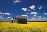 CAL FAR MIS SK     1704520DGRANARIES IN CANOLA FIELDERWOOD                            0717© CLARENCE W. NORRIS      ALL RIGHTS RESERVEDBUILDINGS;CAL_FARMING;CALENDARS;CANOLA;CROPS;ERWOOD;FARMING;GRANARIES;PLAINS;PRAIRIES;RURAL;SASKATCHEWAN;SCENES;SK_;STRUCTURES;SUMMERLONE PINE PHOTO              (306) 683-0889