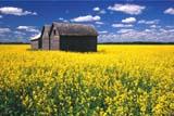 CAL FAR MIS  SK     1704521DGRANARIES IN CANOLA FIELDERWOOD                              0717© CLARENCE W. NORRIS         ALL RIGHTS RESERVEDBUILDINGS;CAL_FARMING;CALENDARS;CANOLA;CROPS;ERWOOD;FARMING;GRANARIES;PLAINS;PRAIRIES;RURAL;SASKATCHEWAN;SCENES;SK_;STRUCTURES;SUMMERLONE PINE PHOTO                 (306) 683-0889